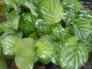 calathea orbifolia for sale