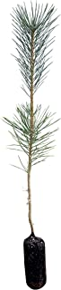 Japanese Black Pine | Live Tree Seedling (Medium) | The Jonsteen Company