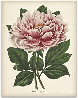 Vintage Mountain Peony Illustration - 11x14 Unframed Art Print - Great Gift and Decor for Gardeners Under $15
