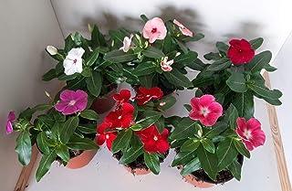 Vinca -Vincapervinca de Madagascar - Pack 6 Plantas -Vinca del Cabo- Vinca Rosa -Planta Ornamental- Planta Natural - Flore...