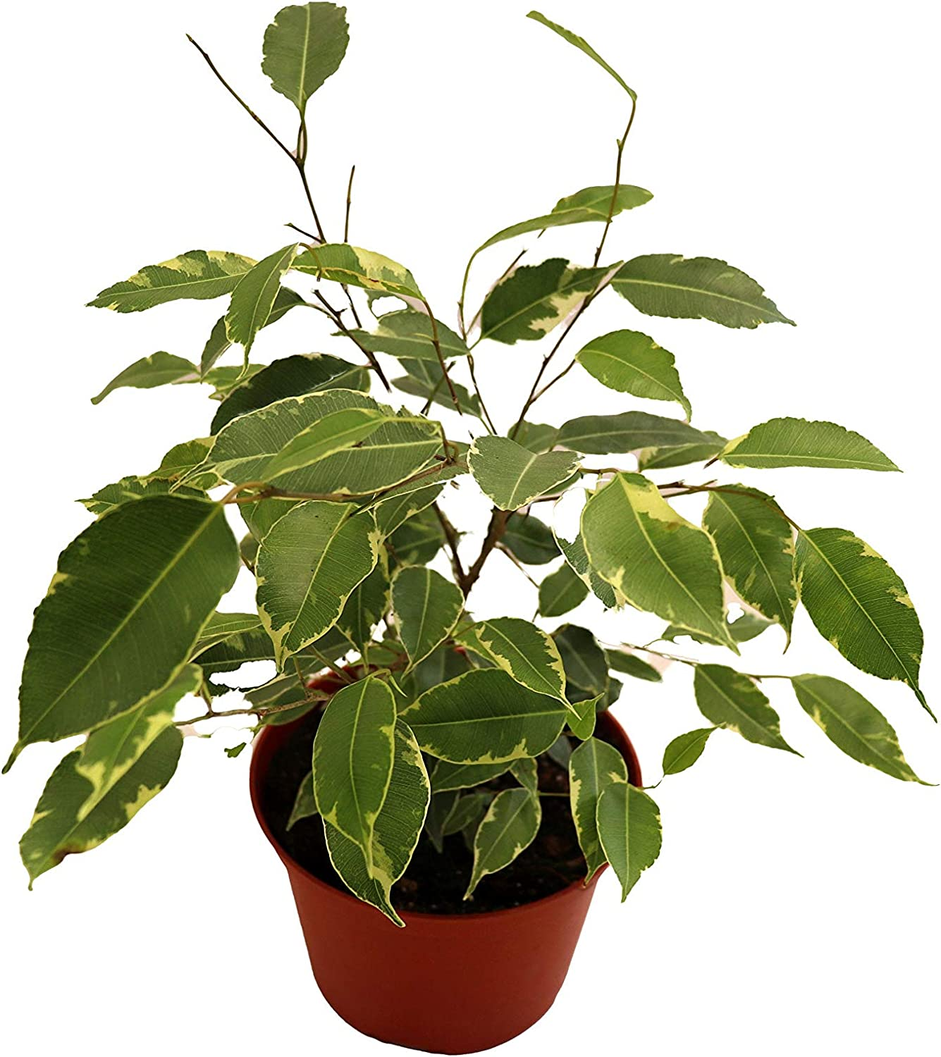 Weeping Fig Japan's Max 84% OFF largest assortment Tree - Ficus Califor Variegated from Benjamina 4''