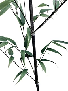 Black Bamboo 100 Seeds - Privacy Plant Garden, Clumping Bamboo Plant Outdoor, Exotic Shade Screen, Cold Hardy Bamboo Plants, Giant Bamboo Seeds Fast Growing, Phyllostachys Nigra
