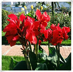 Canna Bulbs for Planting Outdoors,Can Be Grown in The Garden,Color Intensity,Can Be Used As Decoration,Home Grown-A,1 Bulb
