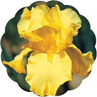 Stargazer Perennials Spirit of Memphis Reblooming Bearded Iris Plant Potted - Lemon Yellow Flowers Easy to Grow Perennial