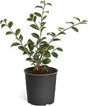 Brighter Blooms - Shi Shi Gashira Camellia - Indoor/Outdoor Flowering Plant, 1 Gallon, No Shipping to AZ, TX, or TN