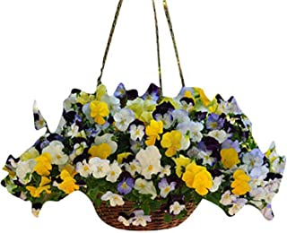 Trailing Pansy - Cool Wave Mix - Flower Seeds - 100 Seeds