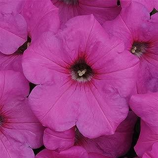 Petunia - Easy Wave Flower Garden Seed - 100 Pelleted Seeds - Neon Rose Blooms - Annual Flowers - Spreading Low Growing Petunias