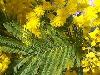 SILVER WATTLE - Yellow mimose - Acacia Dealbata - 40 Bonsai SEEDS - Tree