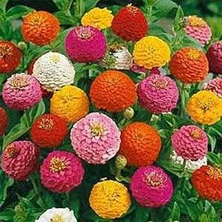 1000 Zinnia Seeds,California Giants,Heirloom Flower