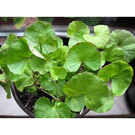 200 Semillas De Hierba De Gotu Kola Centella Asiatica Hogar Jardinería Plantas Medicinales Hierbas Jardín Y Exteriores