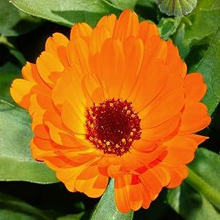 Asklepios-seeds - 500 Samen Calendula officinalis/officinarum - Ringelblume - Heilpflanze