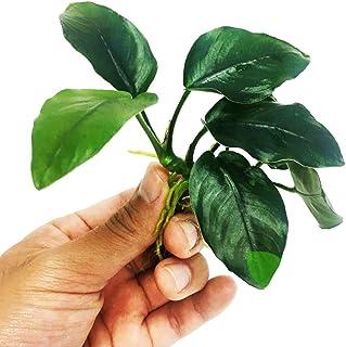 Planterest - Anubias Nana Thick Leaf Rhizome Easy Live Aquarium Plant Decorations BUY2GET1FREE