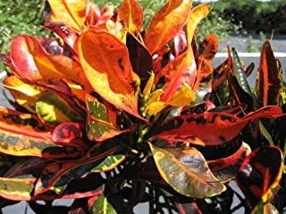 Mammy FIRE Dwarf Corkscrew Tropical Twisted Colored Leaf Croton Live Plant Heirloom Yellow, Red, Orange Starter Size 4 Inch Pot Emerald TM