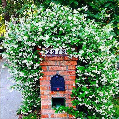 SwansGreen Kletterpflanzen Jasmin-Blumen-Samen White Jasmine Samen Perennial Duftpflanzen Bonsai für Hausgarten-Baum Sementes 20pcs/bag Mehrfarbiges