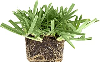 St. Augustine 'Floratam' 3 Inch Sod Plugs - 9 Live Plugs - Drought, Salt and Shade Tolerant Turf Grass