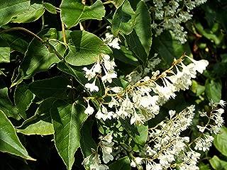 Fallopia (Polygonum) baldschuanica - Russian Vine, Mile a Minute Vine, 3 Plants in 9cm Pots