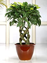 Fourwalls Artificial Ficus Bonsai Plant in a Ceramic Vase for Home and Office Decor (6 Stems, 252 Leafs, 41 cm Tall, Mixed Material, Green)