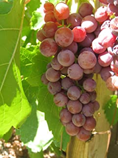 Catawba Grape Vines - Red Seeded Grapes-2 yr Old Healthy Bare Root Plants-3 Pack