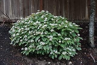 Live American Arborvitae aka Thuja occidentalis 'Rheingold' Plant Fit 5 Gallon Pot
