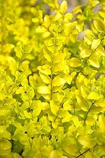 Southern Living Plant Collection Sunshine Ligustrum, 2 Gallon