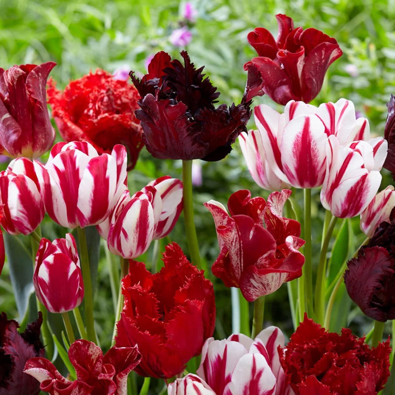 Van Zyverden 87377 Tulips Trust Rouge Candy 15 Flow of Bulbs Very popular! Blend Set