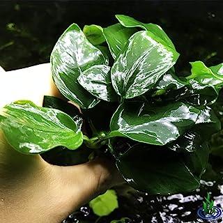 Greenpro Anubias Nana Thick Leaf Potted Live Aquarium Plant Easy 100% Snail Free Guanteed