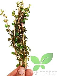 rotala indica bonsai