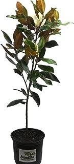 New Life Nursery & Garden- - Little Gem Southern Magnolia Tree