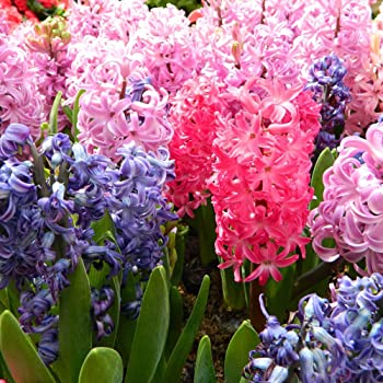 300x New Real Hyacinth Seeds Easy To Grow Mixed Color Flower Seeds Home Garden