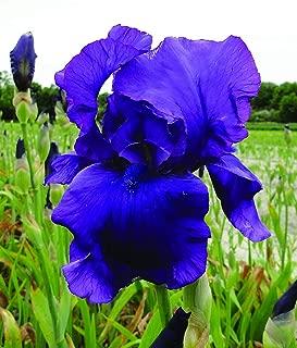 10 Purple Reblooming Bearded Iris Bulbs Plant, Root Start, Rhizome, Bulb, Simply Beautiful Flowering Perennial