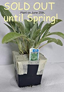 Lamb's Ears Flowering Perennial Plants (1 order contains 2 Potted Plants)