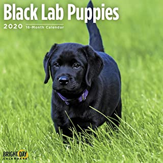 2020 Black Lab Puppies 16 Month 12 x 12 Wall Calendar by Bright Day Calendars
