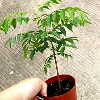 100Pcs Curry Leaf Tree Seeds Petted Culinary Herb Plant Outdoor Garden Decor for Home Use - Curry Seeds