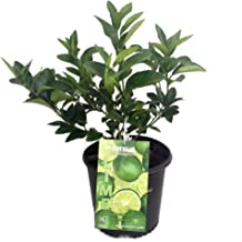 Persian Lime Tree - Fruit Bearing Size -6