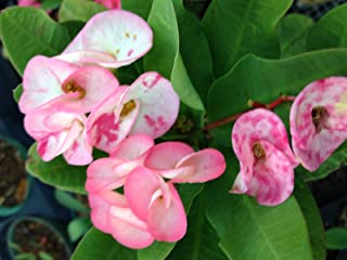 milii HATCHMATIC Germination Seeds: Variegated Crown of Thorns Single Cutting of 4-6