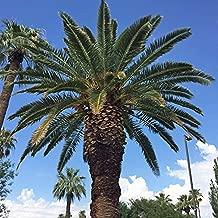 Canary Island Date Palm Tree Seeds, Phoenix Canariensis, 15+ Premium Quality Tree Seeds, Exotic Palm Tree, 80% Germination, (Isla's Garden Seeds)
