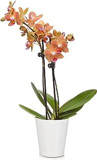 Just Add Ice JAI164 Orchid, 3
