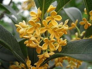 Fragrant Plants For Pots