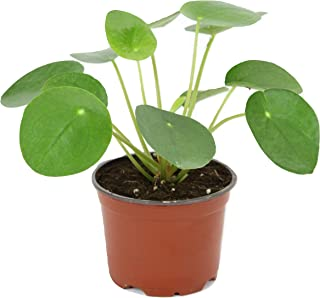 Best chinese money plant where to buy Reviews