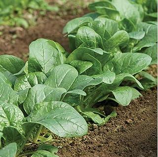 David`s Garden Seeds Spinach Carmel 6653 (Green) 500 Non-GMO, Hybrid Seeds