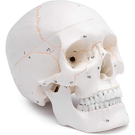 Cranstein Scientific A-211 Crâne anatomique – Modèle 3 pièces, numérotation, couleur os