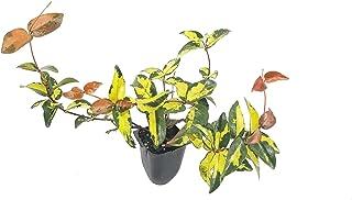 Jasmine Summer Sunset - 3 Live Plants - Trachelospermum Asiaticum - Colorful Groundcover Vine