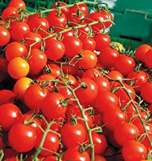Sweet Million F1 Hybrid Tomato Seeds - Plant produces over 500 cherry tomatoes! (10 - Seeds)