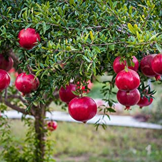ザクロ シャインレッド【品種で選べる果樹苗木 12cmポット 挿し木苗/1個】真っ赤になる果皮と実が美しい品種。種が小さくそのまま食べても気にならない事から種無しザクロとも言われてる品種です。花も美しいので、観賞用にも良いです!【※落葉樹ですの...