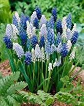 Grape Hyacinth Blend, Bulbs (5 Pack), : Blue, Pure White, Azure Perennial Hyacinth Bulbs, Purple Flowers