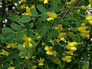 Verazui Siberian Pea Tree, Caragana arborescens, 100 Seeds (Hardy, Fragrant, Hedge)