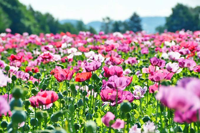 Amazon.com: Afghan Poppy Mixed Colors Papaver Pink Purple White Flower rsc2a6r (250 Seeds) can Grow in Trays or pots : Patio, Lawn & Garden