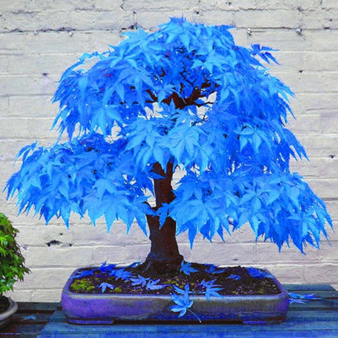 AT27clekca Blue Maple Seeds Repair Tool 20Pcs Beautiful Rare Blue Maple Seeds Bonsai Plants Garden Home Tree Decoration