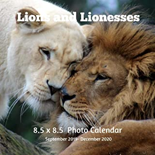 Lions and Lioness 8.5 X 8.5 Calendar September 2019 -December 2020: Monthly Calendar with U.S./UK/ Canadian/Christian/Jewish/Muslim Holidays-Lion Animals Nature