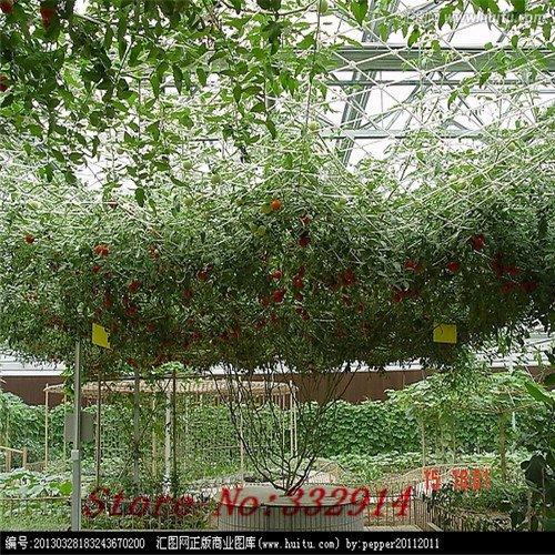 Frais comestibles chinois Mallow Semences Potagères organiques, emballage d'origine, 20 graines / Pack, Malva verticillata Donghancai Herb Seeds